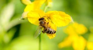 Abeja en la cabeza de flor amarilla Imagen de archivo libre de regalías