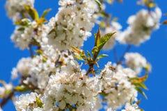 Abeja en la cereza floreciente Imágenes de archivo libres de regalías
