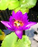 Abeja en la charca de agua roja del loto Imagen de archivo
