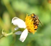 Abeja en la falta de definición del fondo de la flor Foto de archivo