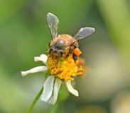 Abeja en la falta de definición del fondo de la flor Imagen de archivo libre de regalías
