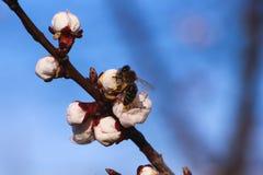 Abeja en la flor Fotografía de archivo
