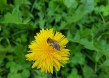 Abeja en la flor Fotos de archivo