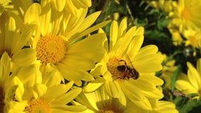 Abeja en la flor almacen de metraje de vídeo