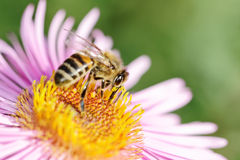 Abeja en la flor. Imagenes de archivo