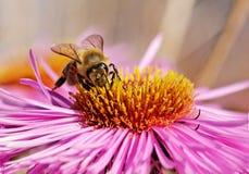 Abeja en la flor. Imagen de archivo libre de regalías