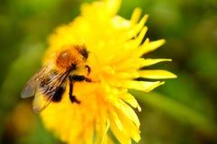Abeja en la flor Imagen de archivo libre de regalías