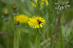 Abeja en la flor Foto de archivo