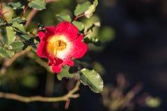 Abeja en la flor Imágenes de archivo libres de regalías