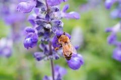 Abeja en la flor Foto de archivo libre de regalías