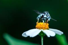 Abeja en la flor, abeja, insecto, insecto Imagenes de archivo