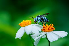 Abeja en la flor, abeja, insecto, insecto Fotografía de archivo libre de regalías