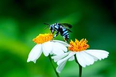 Abeja en la flor, abeja, insecto, insecto Fotos de archivo