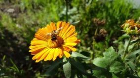 Abeja en la flor amarilla metrajes