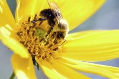 Abeja en la flor amarilla Foto de archivo