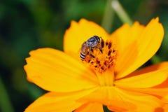 Abeja en la flor amarilla. Foto de archivo