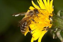 Abeja en la flor amarilla Fotos de archivo libres de regalías