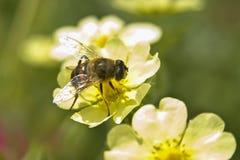 Abeja en la flor amarilla Fotos de archivo
