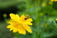 Abeja en la flor amarilla Foto de archivo libre de regalías