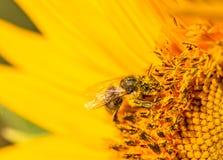 Abeja en la flor amarilla Imagenes de archivo