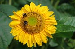 Abeja en la flor amarilla Imagen de archivo