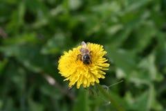 Abeja en la flor amarilla Imagen de archivo libre de regalías