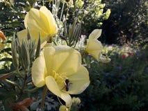 Abeja en la flor amarilla en busca del néctar Imagen de archivo libre de regalías