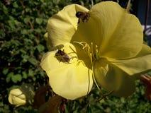 Abeja en la flor amarilla en busca del néctar Imagen de archivo