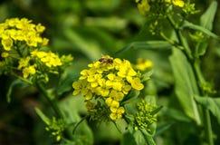 Abeja en la flor amarilla de la violación Foto de archivo