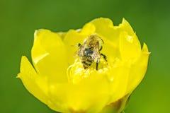 Abeja en la flor amarilla de un cactus Fotografía de archivo libre de regalías