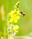 abeja en la flor amarilla de una planta silvestre Fotos de archivo