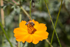 Abeja en la flor amarilla del cosmos Fotografía de archivo