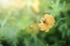 Abeja en la flor amarilla del cosmos con la luz del sol Fotografía de archivo
