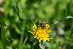 Abeja en la flor amarilla del diente de león Foto de archivo libre de regalías