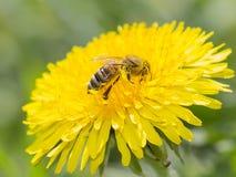 Abeja en la flor amarilla del diente de león que recoge el polen Imágenes de archivo libres de regalías