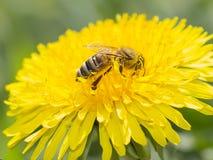 Abeja en la flor amarilla del diente de león que recoge el polen Fotos de archivo libres de regalías