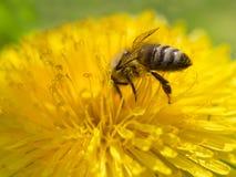 Abeja en la flor amarilla del diente de león que recoge el polen Fotografía de archivo libre de regalías