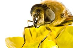 Abeja en la flor amarilla en cierre del extremo para arriba Imágenes de archivo libres de regalías