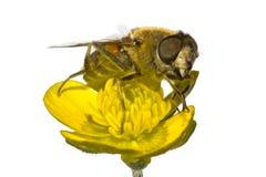 Abeja en la flor amarilla en cierre del extremo para arriba Imagen de archivo