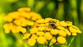 Abeja en la flor amarilla en el prado del verano, foco selectivo Imagen de archivo