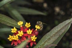 Abeja en la flor amarilla en un jardín Imagenes de archivo