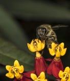 Abeja en la flor amarilla en un jardín Fotos de archivo