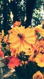 Abeja en la flor amarilla Estilo de la vendimia Imágenes de archivo libres de regalías