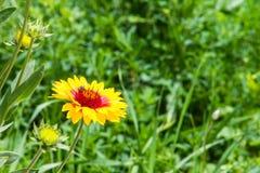 Abeja en la flor amarilla, fondo verde Fotos de archivo libres de regalías