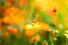 Abeja en la flor amarilla en luz del sol Imagen de archivo libre de regalías