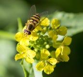 Abeja en la flor amarilla en naturaleza Macro Imagen de archivo libre de regalías