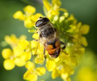 Abeja en la flor amarilla en naturaleza Macro Fotografía de archivo libre de regalías
