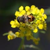 Abeja en la flor amarilla en naturaleza Macro Fotografía de archivo