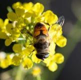 Abeja en la flor amarilla en naturaleza Macro Fotos de archivo libres de regalías
