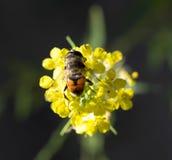 Abeja en la flor amarilla en naturaleza Macro Foto de archivo